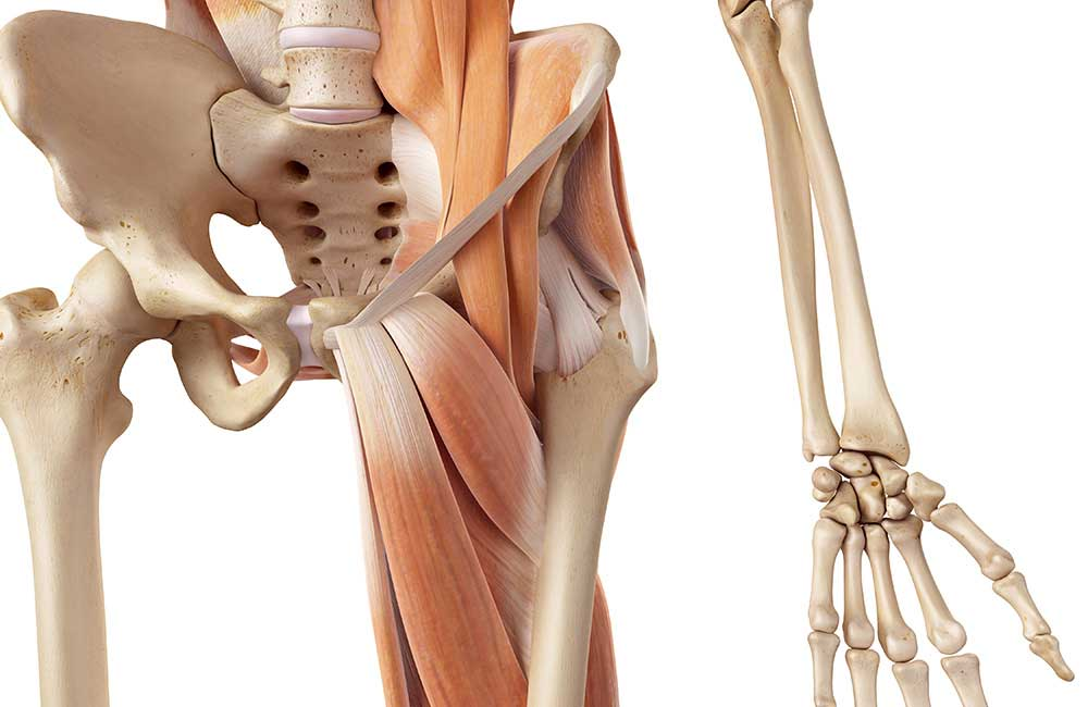 The Hip Anatomy Kinesiology Foundations Novavia